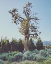 Bristlecone Tree near Big Bear Lake